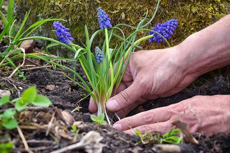 Gardener planting Muscari flowers in the garden. Spring garden works concept