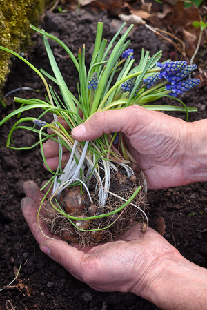 Blue Muscari flowers in gardener's hands prepared for planting. Spring garden works concept
