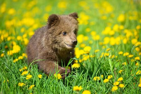 Cute little brown bear cub playing on a lawn among dandelions