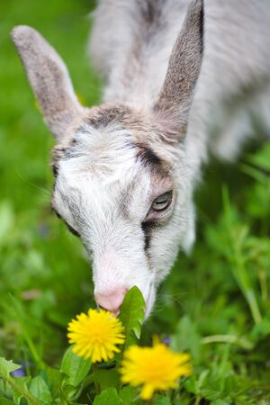 Little goat eats grass on a green lawn