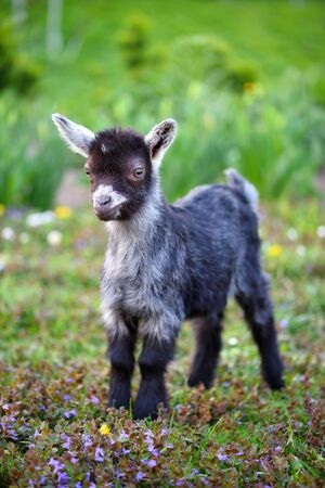 A cute baby goat standing on green lawn
