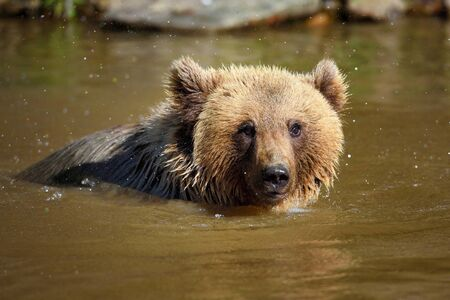 Young brown bear (Ursus arctos) swimming in a water