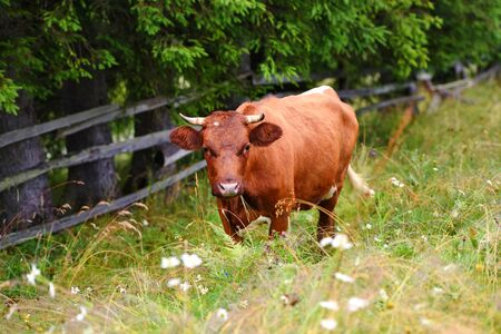 Cute brown cow with on a mountain pasture near the forest Reklamní fotografie