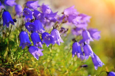 Alpine bells (Campanula cochleariifolia) in the sunlight