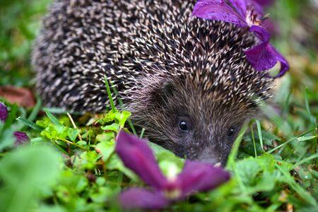 Hedgehog (Erinaceus Europaeus) wild, European hedgehog with purple flowers
