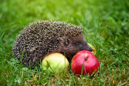 Hedgehog (Erinaceus Europaeus) on a green grass near apples 免版税图像