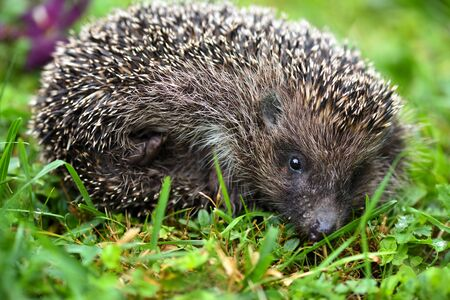 Hedgehog (Erinaceus europaeus). Cute hedgehog face with beady eyes