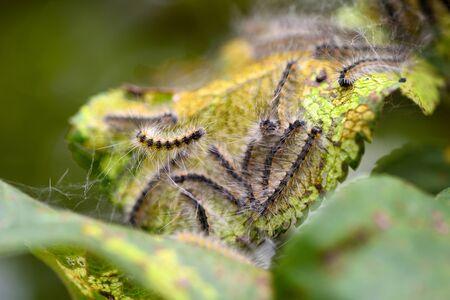 Caterpillars of the Aporia crataegi (black-veined white) eating apple leaves, close up macro detail, soft blurry bokeh Standard-Bild - 131684886