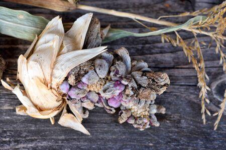 Corn smut (Ustilago zeae Unger). Ustilago maydis disease on corn cob