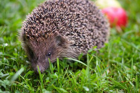 Hedgehog, (Scientific name: Erinaceus europaeus) wild, native, European hedgehog on green grass. Stock Photo