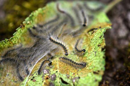 Caterpillars of the Aporia crataegi (black-veined white) eating apple leaves, close up macro detail, soft blurry bokeh