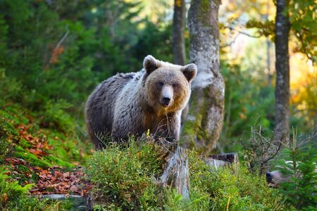 Young european brown bear in the authumn forest