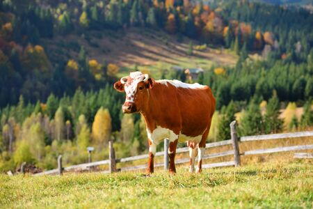 Brown cow with a white pattern on a mountain pasture. Sunny autumn morning in the Carpathians