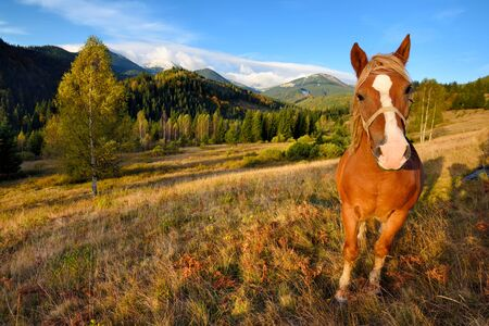 Brown horse on a mountain pasture on the background of sky and autumn mountains. Sunny autumn morning in the Carpathians