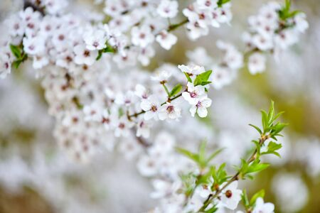 White flowers of Prunus cerasifera. Natural background