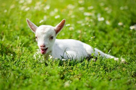 White little goat resting on green grass with daisy flowers on a sunny day