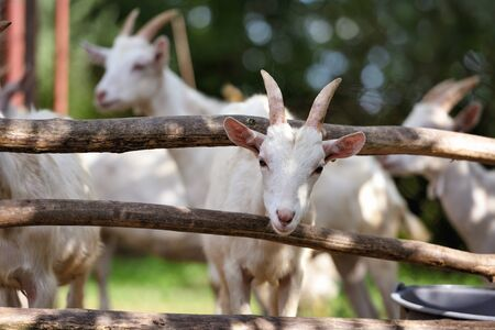 Goat family standing in wooden paddock in the yard