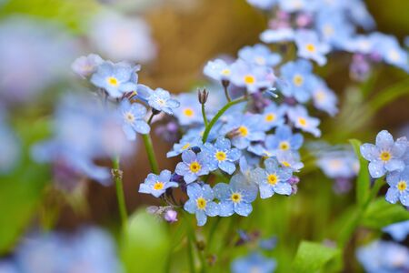 Beautiful forget-me-not blue wildflowers (Myosotis)  in the blurred background of green grass Stock Photo