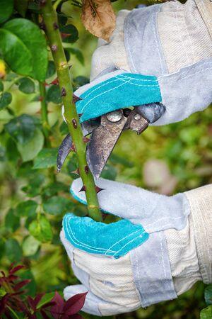 Pruning roses in the garden, gardener's hands with secateurs Zdjęcie Seryjne