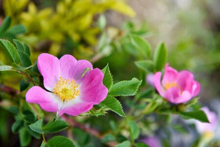 Close-up image of the beautiful spring flowering, pink, Rosa Canina also known as the Dog Rose. Floral background Zdjęcie Seryjne