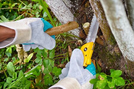 Hands with gloves of gardener doing maintenance work, pruning trees