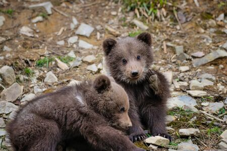 Two little brown bear cub on the edge of the forest