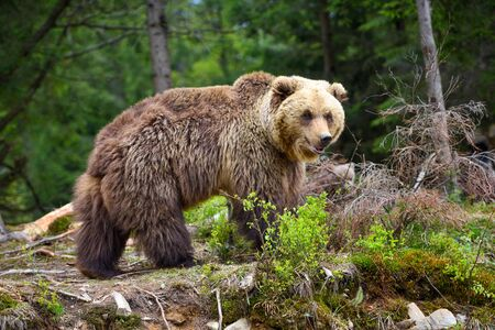 European brown bear in a forest landscape at summer. Big brown bear in forest. Zdjęcie Seryjne