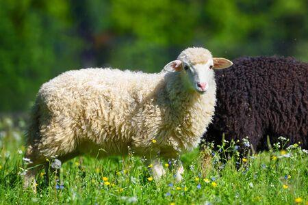 Sheeps in a meadow on green grass. Sunny summer day Zdjęcie Seryjne