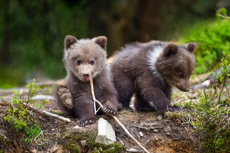 Two little brown bear cub are playing on the edge of the forest Zdjęcie Seryjne