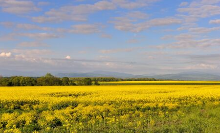 Yellow rapeseed field with beautiful sky. Sunny morning. Blooming canola flowers.