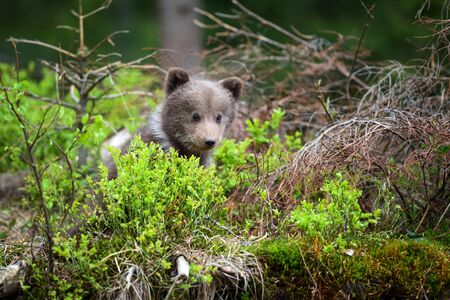 Cute little brown bear cub in summer forest
