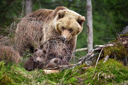 Brown mother bear protecting her cubs in summer forest