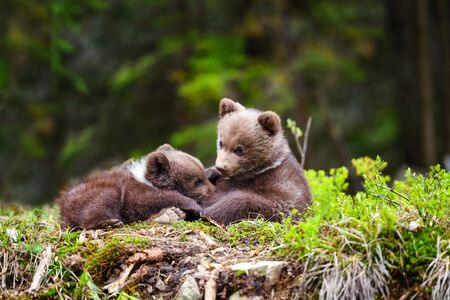 Two little brown bear cub are resting on the edge of the forest