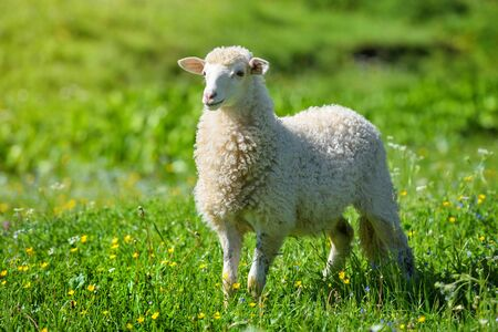 A sheep in a meadow on green grass. Sunny summer day