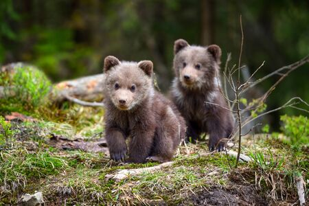 Two little brown bear cub are walking in summer forest