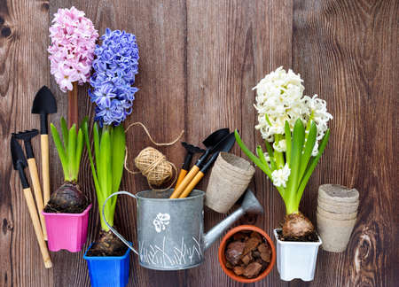 Garden tools, hyacinth flowers and plants on a rustic wooden background, frame. Gardening concept. Top view