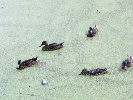 tightened: ducks in a pond tightened by ooze