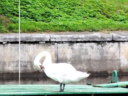 plasticity: the swan cleans plumelets