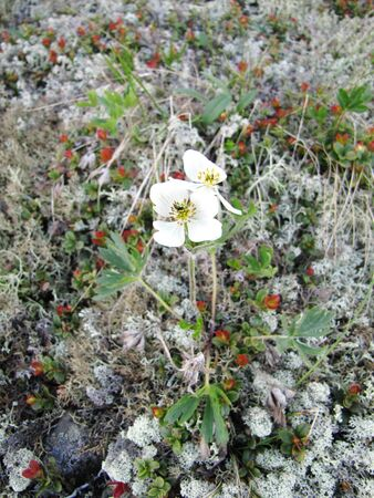 floret: white floret among stones and a moss