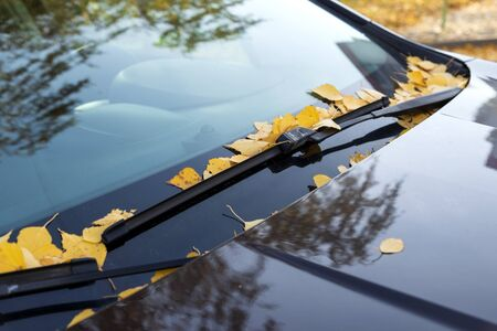 dead yellow leaves on a car windshield.
