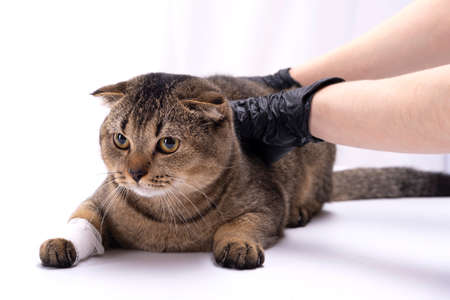 Veterinarian bandaged the paw of a Scottish Fold cat