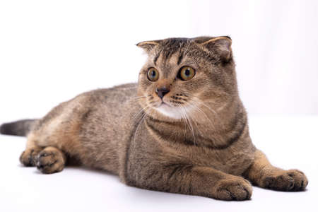 Serious scottish fold brown cat lies on a white table