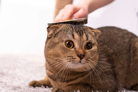 The hostess is combing the fur of a Scottish fold brown cat. Cat grooming, veterinary.