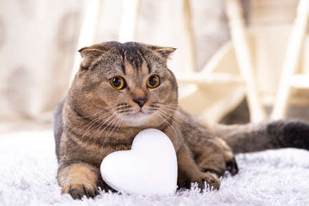 Brown scottish fold cat with white heart on carpet.