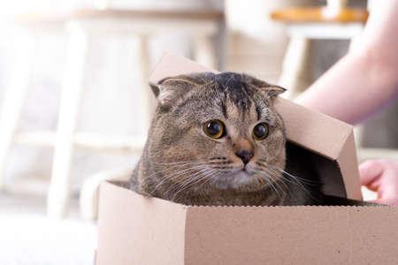 Scotch fold cat in a cardboard box on the living room floor. 免版税图像