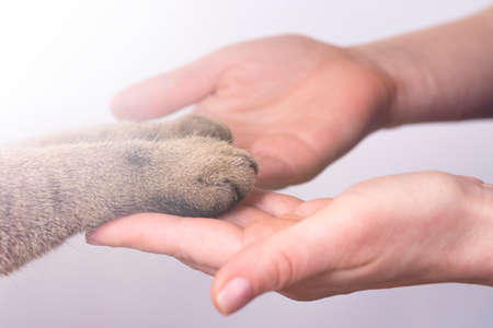 hands and paws of a cat on a white background friendship concept. Pets are human friends.