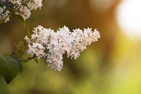 White lilac flowers macro background white lilacs macro spring flower syringa vulgaris
