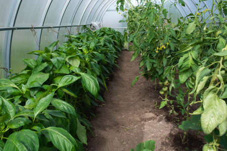 inside a home greenhouse, tall seedlings of peppers and tomatoes in the open fieldinside a home greenhouse, tall seedlings of peppers and tomatoes in the open field with blur foreground and background