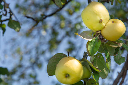 yellow apples hang on a branch against a blurred sky background