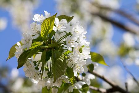 cherrytree: cherry